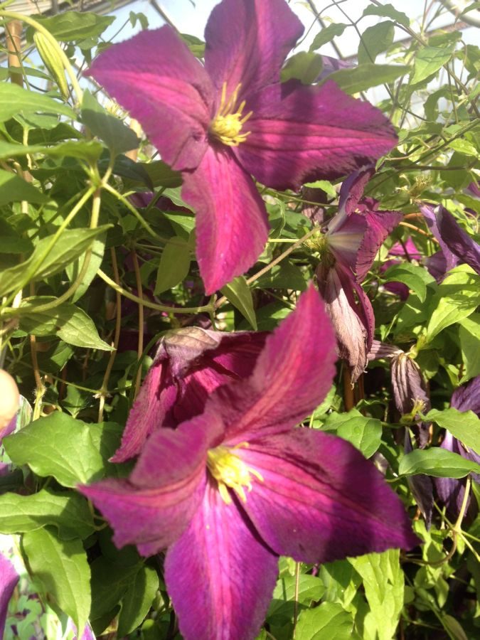 Clematis Jackmanii Purpurea nice pair