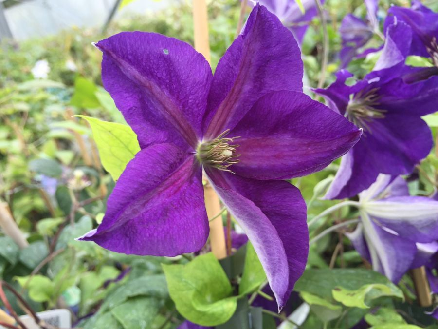 Clematis Jackmanii Superba just opening