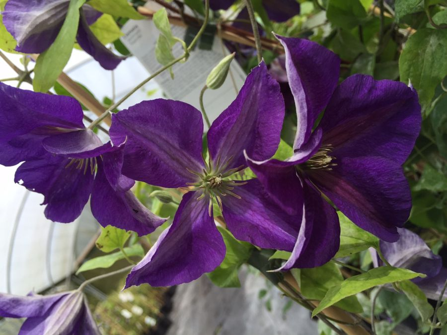 Clematis Jackmanii Superba group shot
