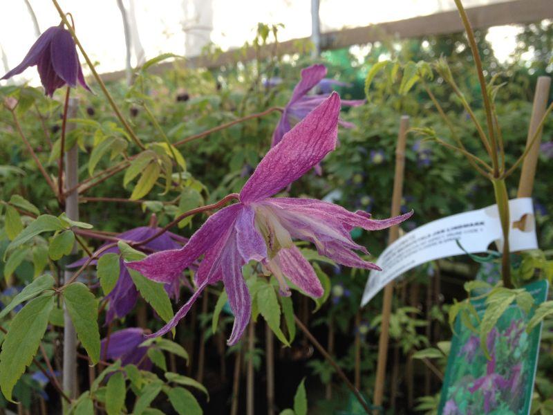 Clematis macropetala Jan Lindmark nice double blooms