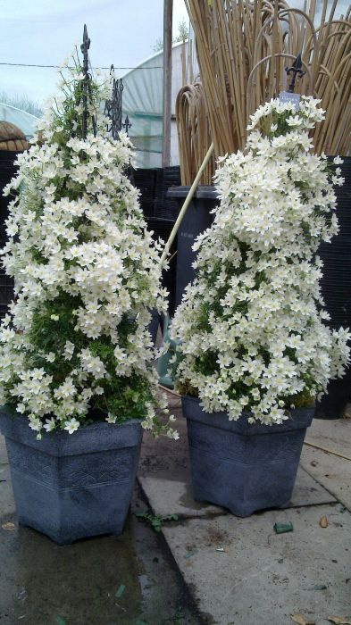 Clematis cartmanii joe pair of display pots