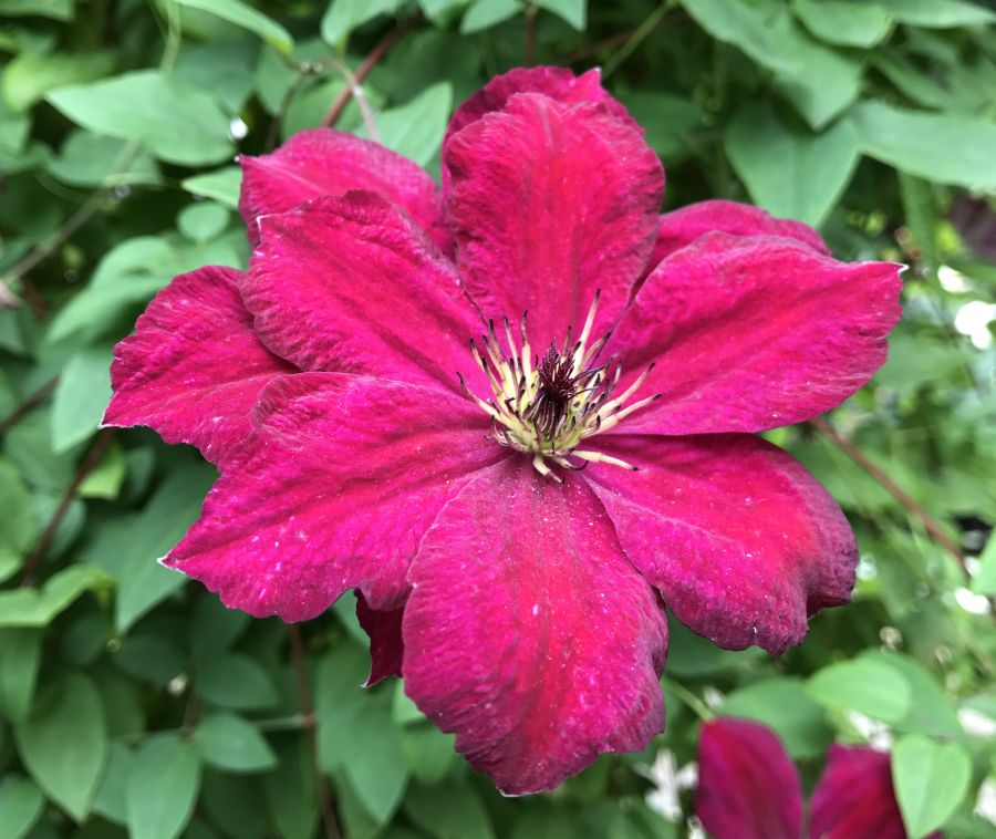 Clematis viticella John Howells gets darker colour with lots of feed