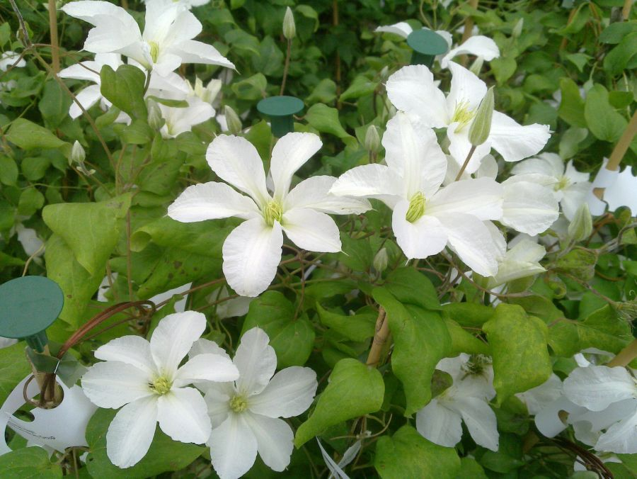 Clematis John Huxtable mass shot of sales plants