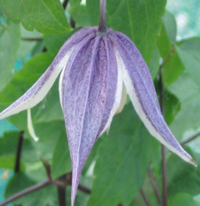 Clematis koreana blue eclipse old pic
