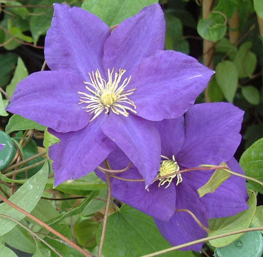Clematis Lady Northcliffe