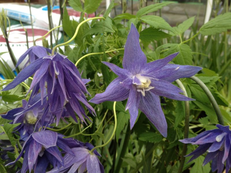 Clematis Macropetala Lagoon awarded the AGM by the RHS