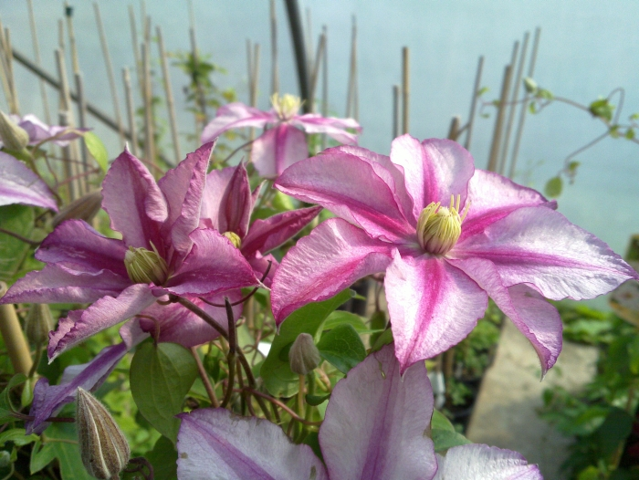 Clematis Lasting love group shot