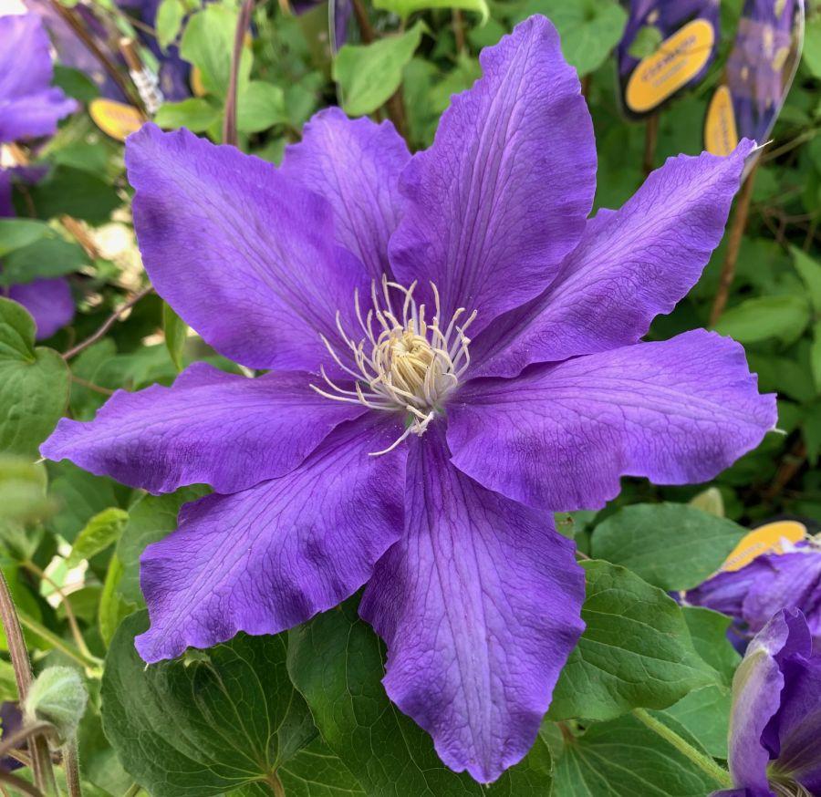 Clematis Lasurstern big flowers
