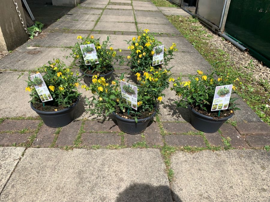 Little lemons sales plants