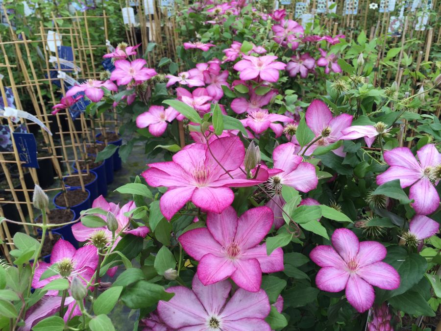 Clematis Liberty mass shot