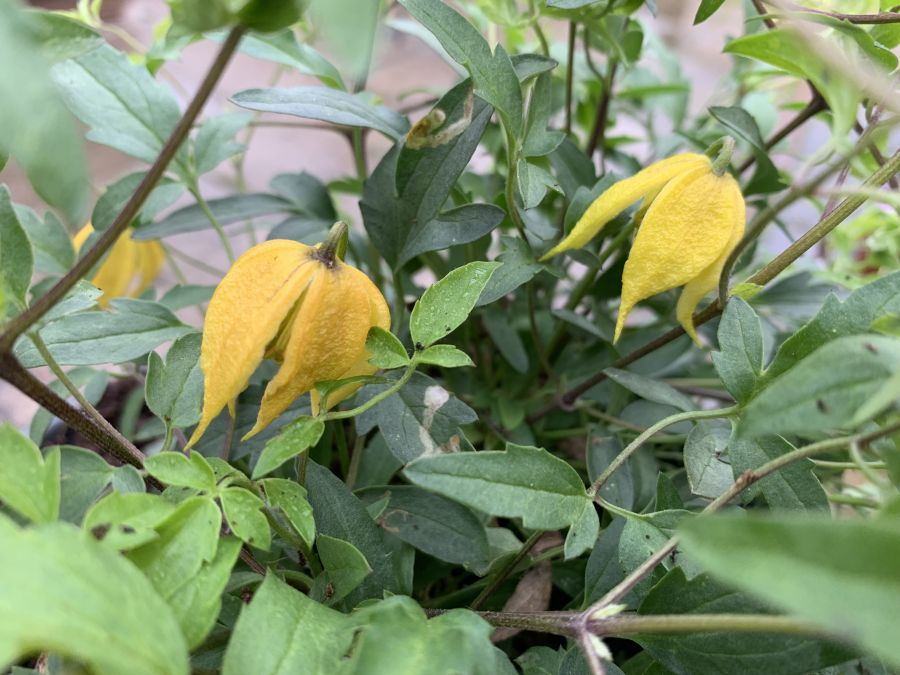 Clematis Little Lemons yellow nodding flowers