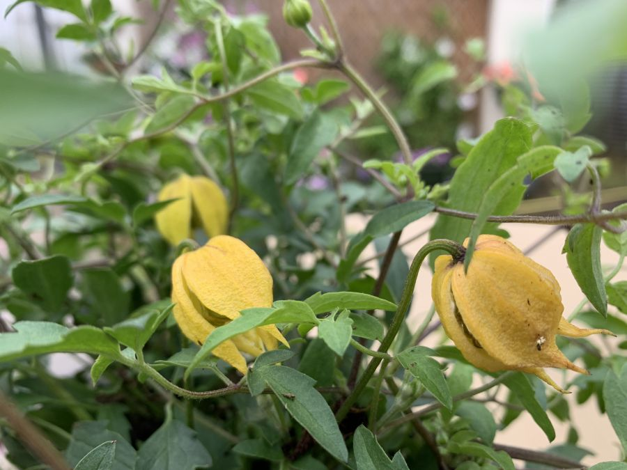 Clematis Little Lemons