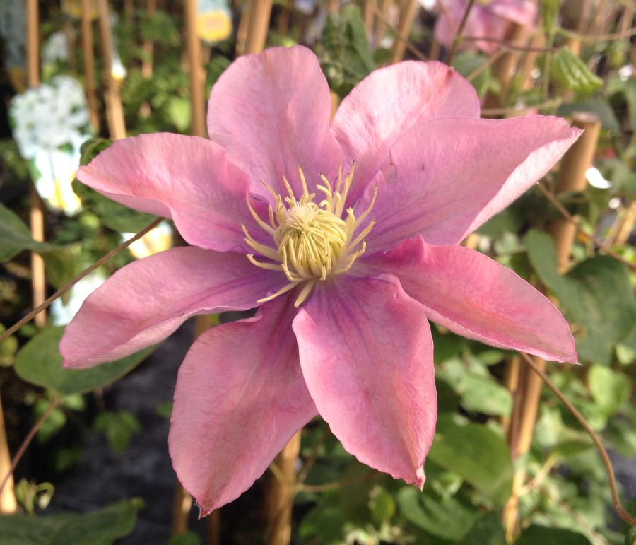 Clematis Little Mermaid fully open