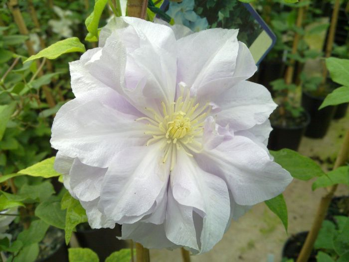 Clematis Louise Rowe in double form
