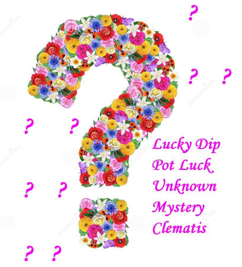 Lucky Dip clematis