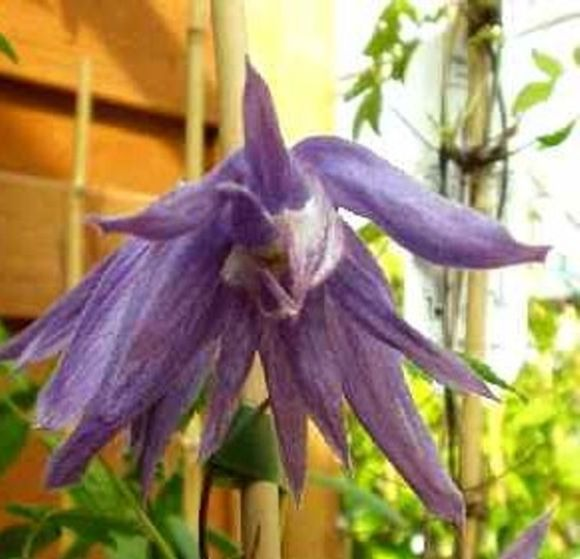 Clematis macropetala Blue Bird