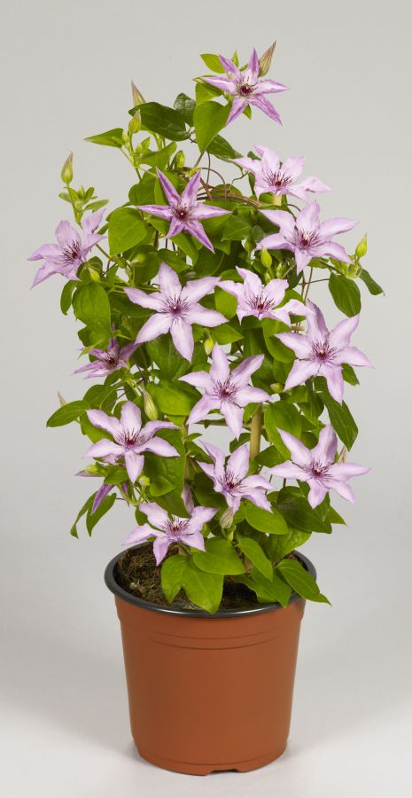 Clematis Manon Evipo054 in a display pot
