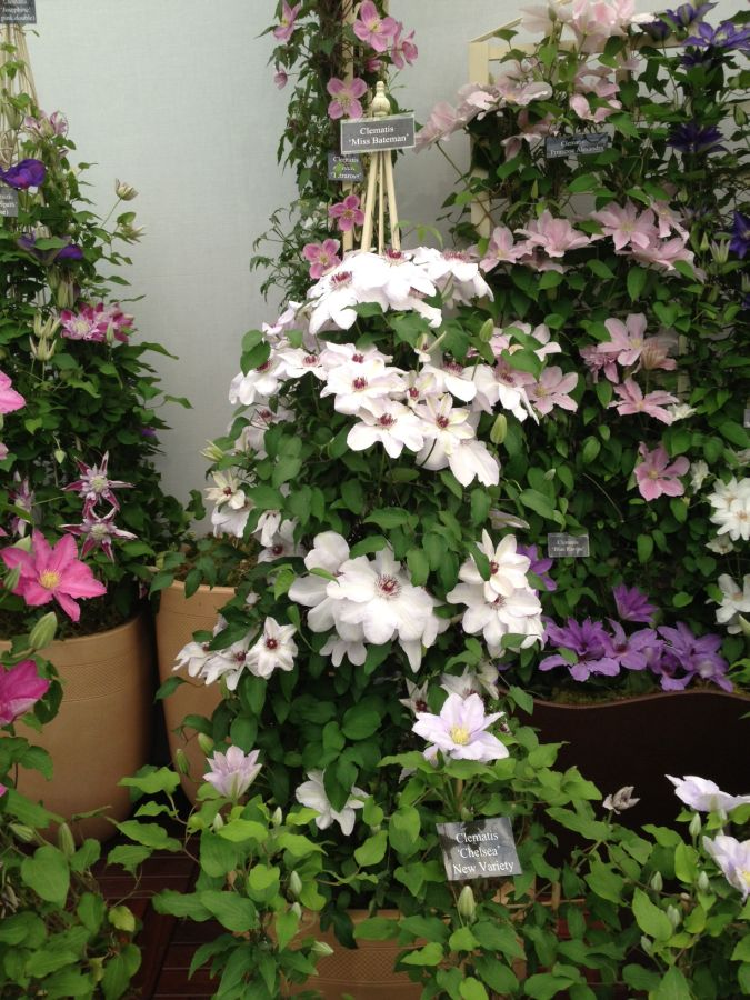 Clematis Miss Bateman at chelsea 2013