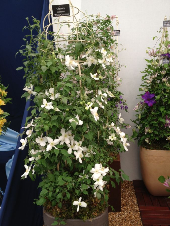 Clematis montana Miss Christine at chelsea 2013