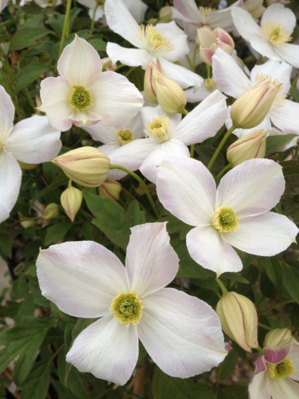 Clematis montana Miss Christine nice open shot