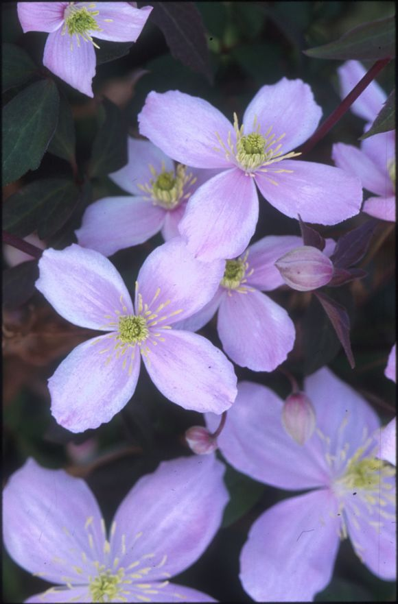 Clematis montana Rubens old pic