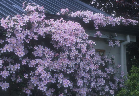 Clematis montana Rubens climbing up and over