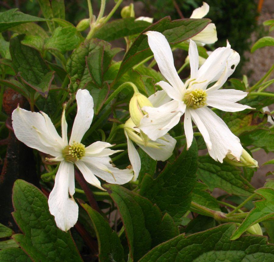 montana Pleniflora, white double montana