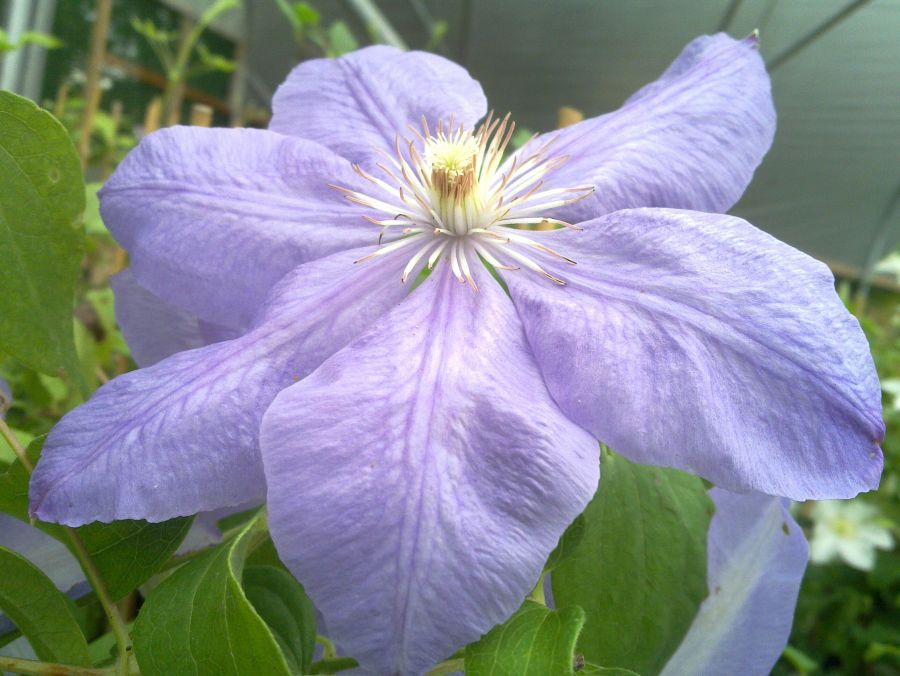 Clematis Mrs Cholmondeley