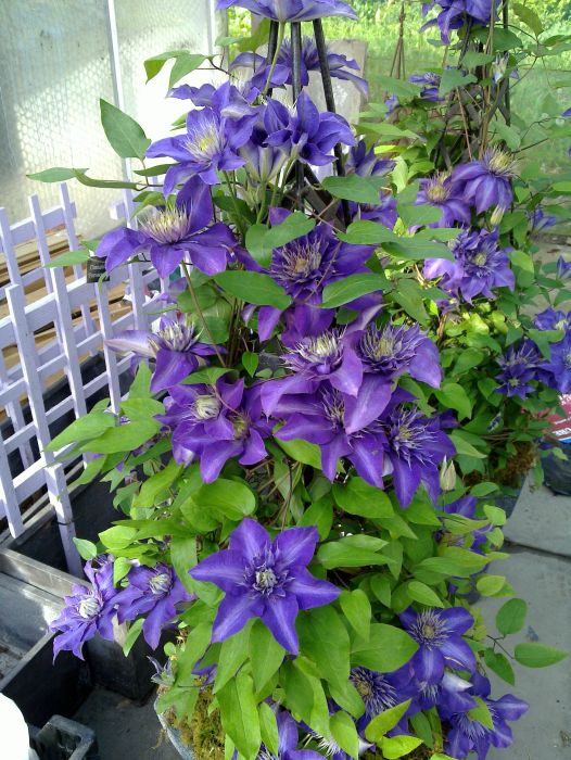 Clematis Multi-Blue in a full pot