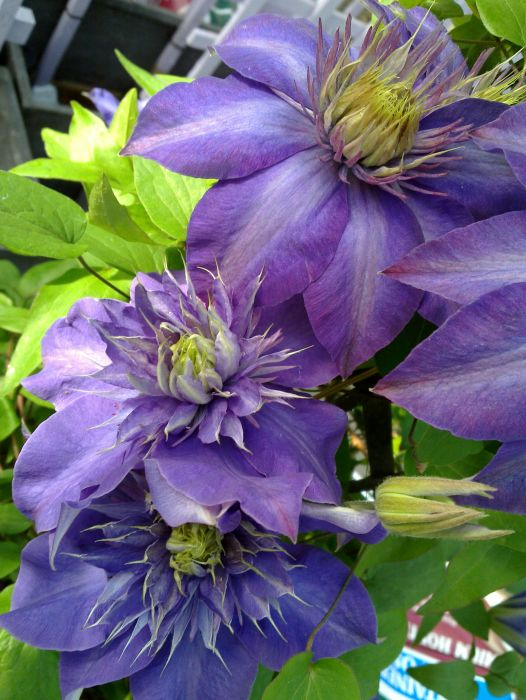Clematis Multi-Blue pair