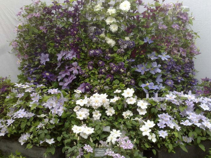 Bouleverd Clematis in troughs at the front here