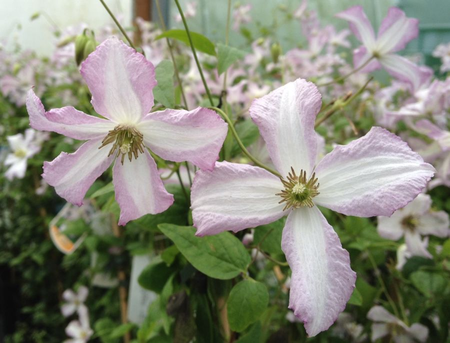 Clematis Little Nell nice pair
