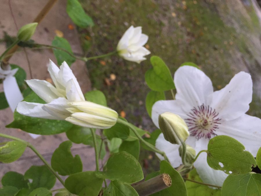 Clematis Ninon in bud