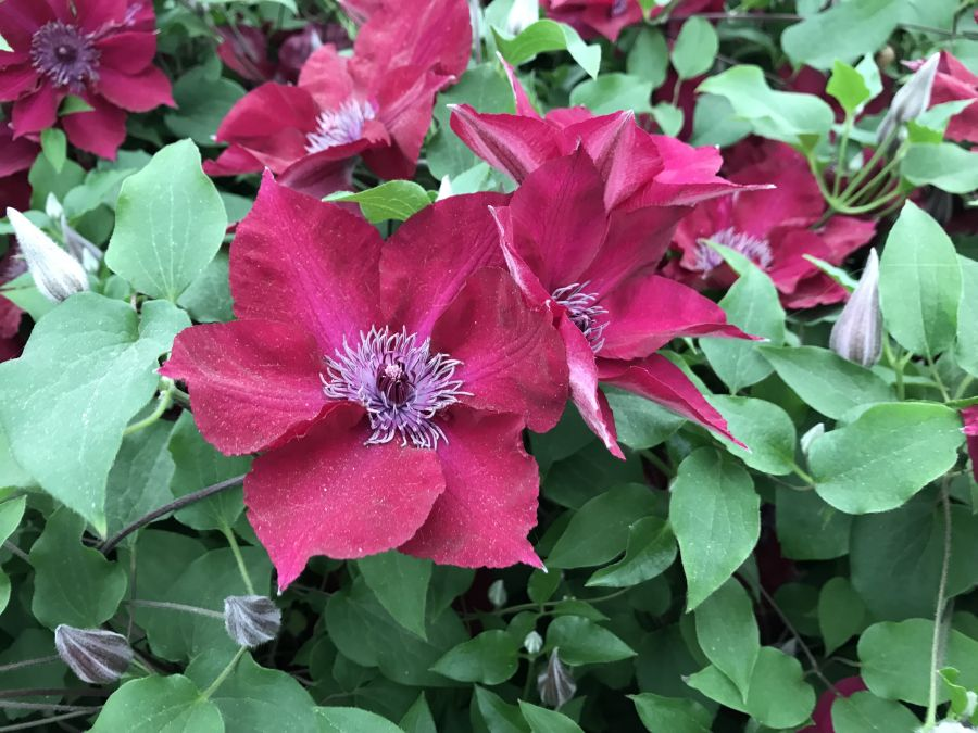 Clematis Nubia at chelsea 2018 after the launch