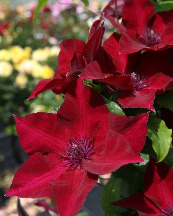 Clematis Nubia new for 2018, Brand new Raymond Evison variety for 2018