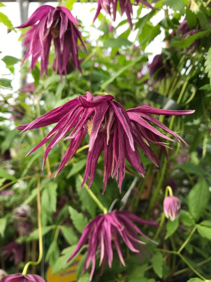 Clematis Macropetala Octopus great shape