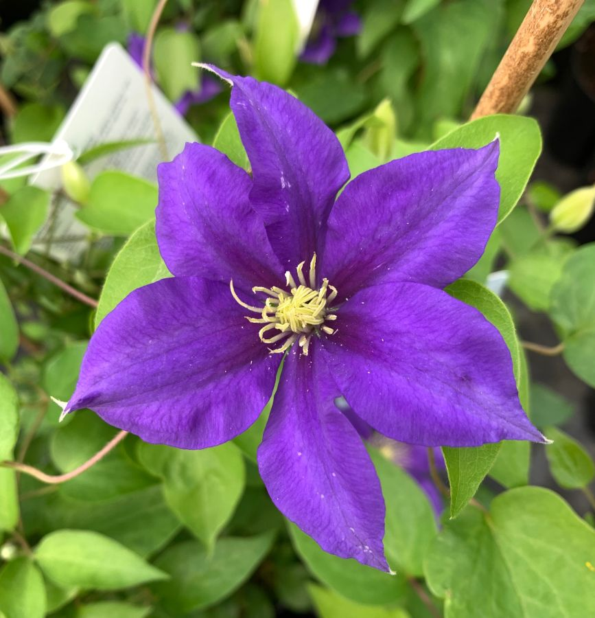 Clematis Olympia first fully open flower