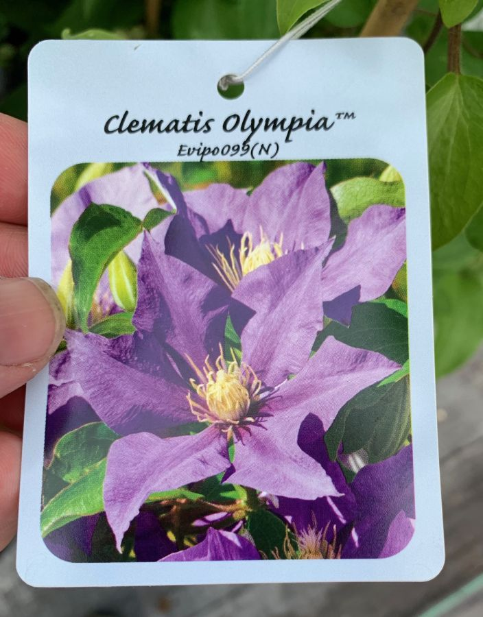 Clematis Olympia name card (front)