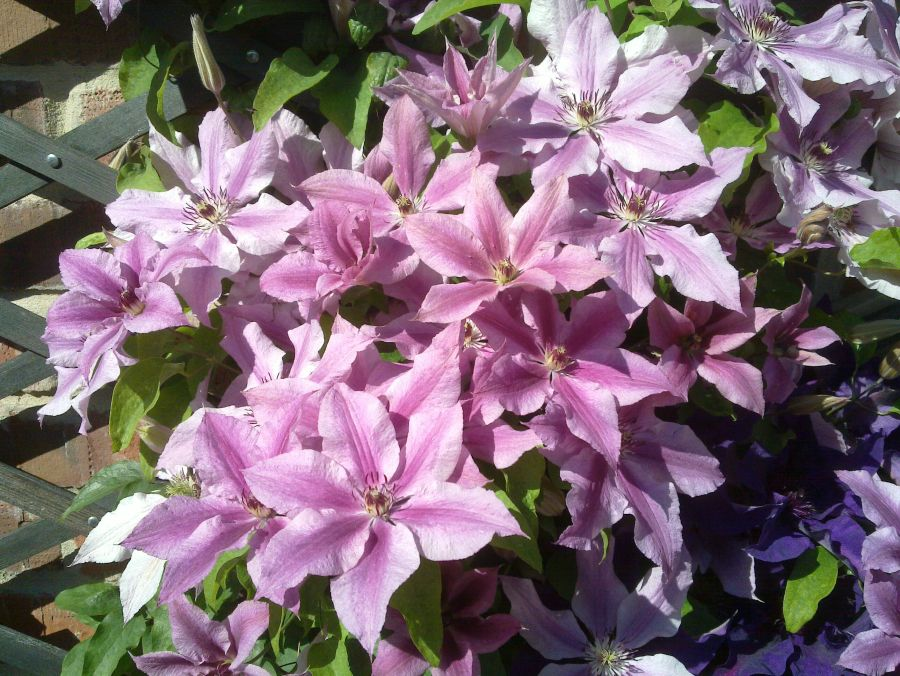 Clematis Ooh La La growing in our garden