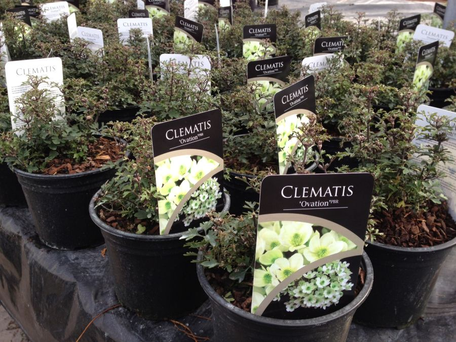 Clematis Ovation sales plants