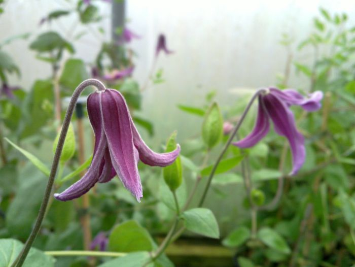 Clematis Pangbourne Pink just opening