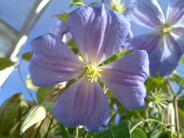 Clematis Pearl d Azur close up
