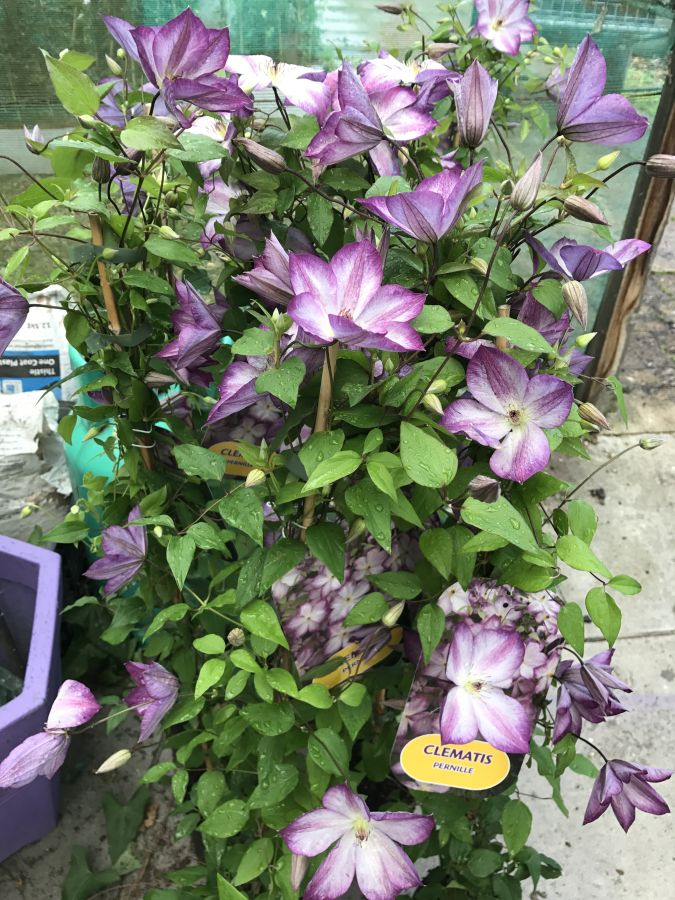 Clematis Pernille group shot
