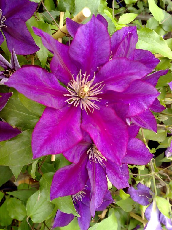 Clematis picardy close up