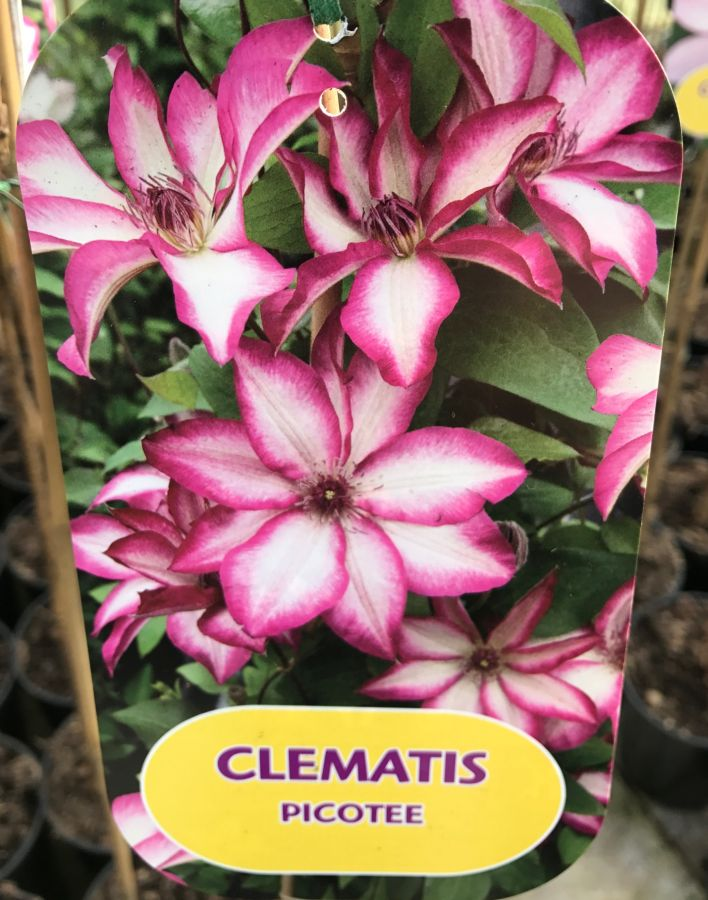 clematis picotee name card