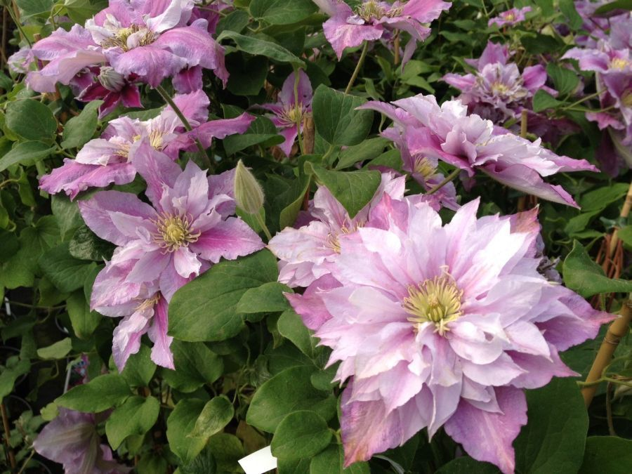 Clematis Piilu great doubles and semi doubles