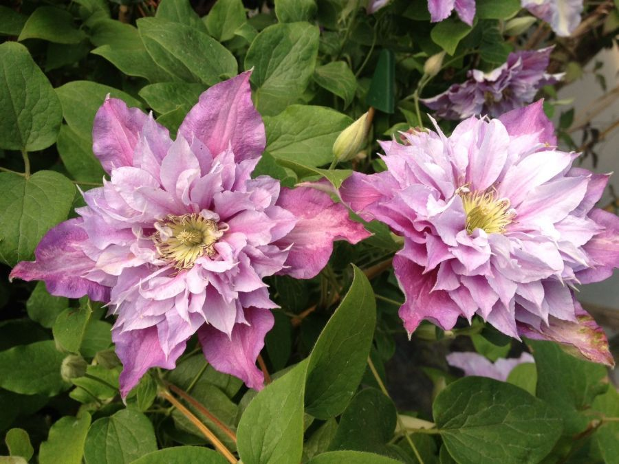 Clematis Piilu (double form)
