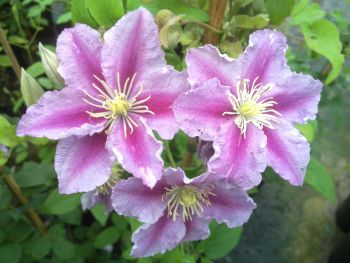 Clematis Piilu nice 2 tone colours (single form)