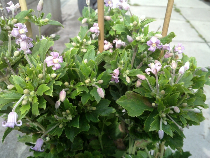 clematis pink dwarf creates lots of flowers