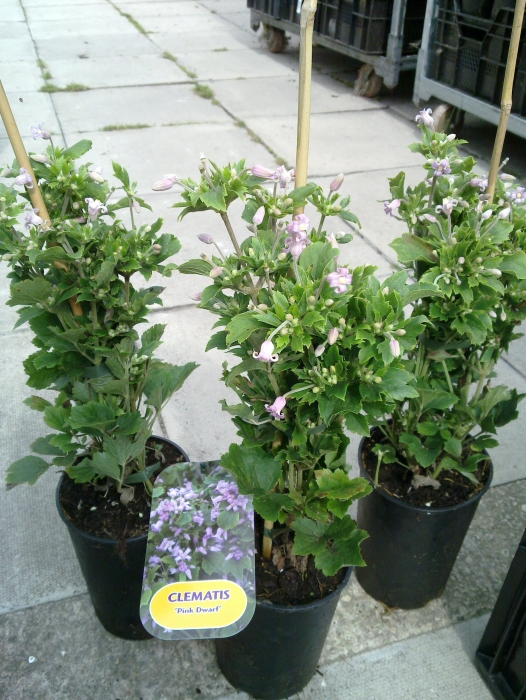 clematis pink dwarf sales plants